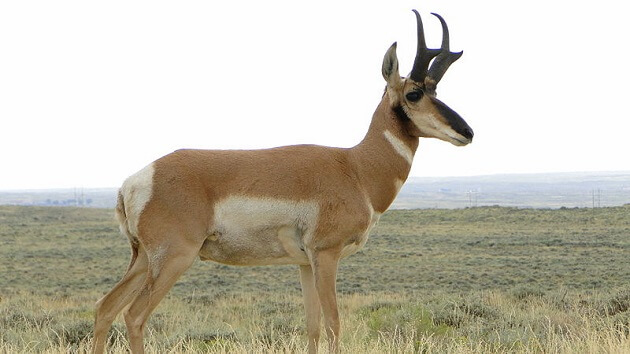 Animal le plus rapide au monde, Antilope d'Amérique