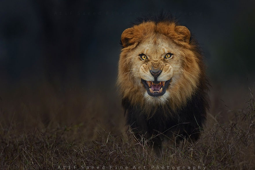 Atif Saeed, lion