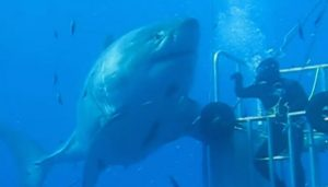 Deep Blue, requin blanc énorme