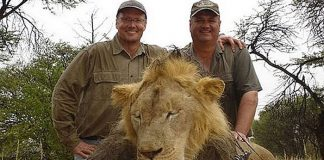 animaux, chasse, braconnage, Walter Palmer, lion