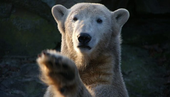 knut, ours, berlin, zoo, mort