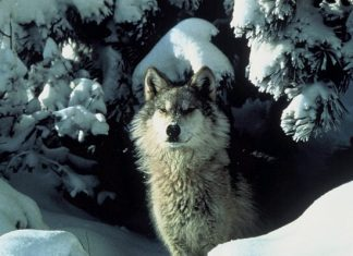 chasse, loups, Norvège