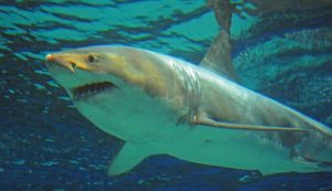 grand requin blanc, mort, aquarium, Japon