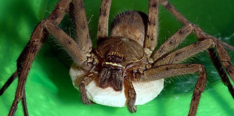 What is Brown Recluse Spider Bite?]