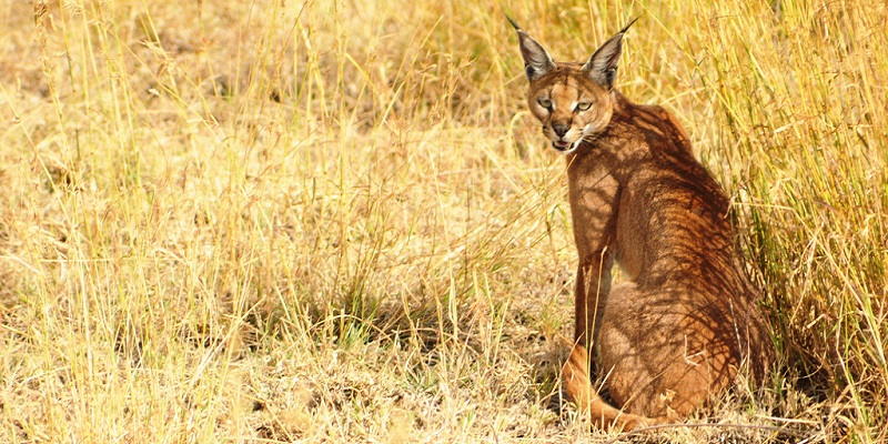 caracal-chasseur-carnivore