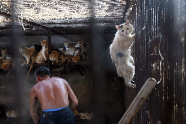 Chat au festival de Yulin en Chine